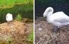 Ze gooien met stenen naar een zwanennest en doden vijf kuikens: de moeder