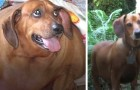 Obie, el perro salchicha obeso que perdió más de 20 kg en un año llegando a ser otro perro