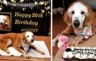 De oudste Golden Retriever ter wereld is 20 jaar oud: ze is een echte recordhond