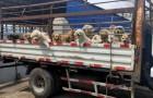 Eine Gruppe von Tierschützern rettet 50 Hunde für das Hundefleischfestival in Yulin