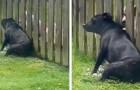 Den här hunden sätter sig varje dag framför staketet för att få sin