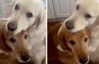 Un chien mange par erreur le biscuit de son ami : peu après, il