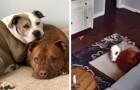 Een altruïstische hond brengt zijn bed naast zijn zieke vriend om hem op een moeilijk moment te troosten