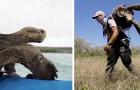 Galapagos: 15 tartarughe giganti che hanno dato vita a 1900 discendenti tornano finalmente a casa