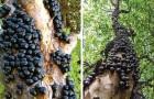 I frutti di questo albero nascono direttamente sulla corteccia, rendendo il suo aspetto alquanto insolito