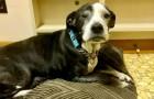 Quieren sacrificar al anciano perro porque se cansaron de tenerlo: el veterinario se opone y lo lleva a un refugio