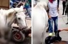 En gravid häst föder mitt på gatan medan den tvingas dra en kärra, ägaren blev polisanmäld