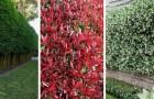 11 piante perfette per creare fantastiche siepi sempreverdi, semi-sempreverdi e fiorite