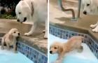 Een Golden Retriever-pup leert zwemmen in het zwembad onder de zorgzame blik van haar mamma