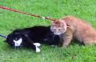 Volete portare a spasso il vostro gatto? Il risultato sarà probabilmente questo...