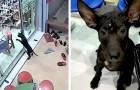 Ein Hund, der sich verirrt hat, ist zu seinem Tierarzt gegangen, um um Hilfe zu bitten und nach Hause zurückzukehren