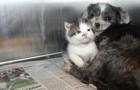 En tik som inte var gravid började amma en hemlös liten kattunge och räddade livet på den