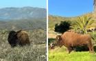 En 1924, une équipe de tournage a laissé 14 bisons sur une île : aujourd'hui, ils constituent une véritable colonie