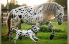 Un cucciolo di dalmata crede che questa cavalla con il manto maculato come il suo sia la mamma