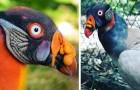 L'Avvoltoio Reale è una specie talmente colorata che vi farà rivalutare la reputazione di questi volatili