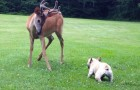 There's a deer in the garden, but the little bulldog decides it's play time !