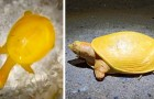 Eine sehr seltene gelbe Schildkröte mit rosa Augen, die in Indien entdeckt wurde: Sie könnte ein Albino sein