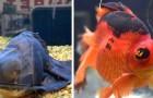Una donna salva un pesce trovato in fin di vita in un negozio: lui torna a nuotare e cambia colore