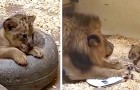 Lejonpappan möter sin unge för första gången, bilderna är urgulliga