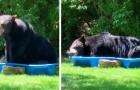 Ein riesiger Bär betritt den Garten einer Frau und kühlt sich in einem Kinderbecken ab: Das Video ist erheiternd