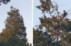 Un uomo scala un albero di 20 metri per fare un