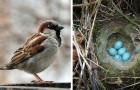 An entire village remained in the dark for 35 days to save the lives of a sparrow and its young