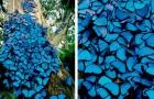 Un photographe prend une photo d'un arbre recouvert de centaines de papillons bleus : on dirait une scène de conte de fées
