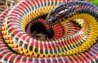 Avvistato in natura un raro serpente arcobaleno: un rettile multicolore e non aggressivo
