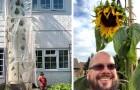 Para deixar o filho feliz, ele decide cultivar um enorme girassol: a planta ultrapassa os 6 metros de altura