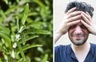 3 usos benéficos do alecrim que são ideais para aliviar os sintomas da enxaqueca