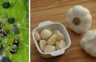 Come usare l'aglio per creare un efficace repellente contro gli insetti in giardino
