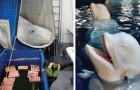 Due beluga potranno di nuovo nuotare in mare aperto, dopo 10 anni in cattività in un acquario in Cina