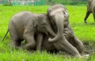 Every time it rains these elephants behave like this: Pure Joy!