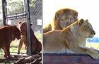 Tanya e Tarzan, i leoni da circo liberati dopo 8 anni di prigionia: non avevano mai corso su un prato