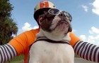 He is by far the COOLEST bulldog in town !