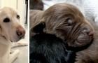 Une labrador à poils clairs donne naissance à 13 chiots à poils noirs : une mise bas record