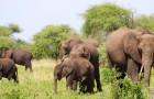 Geboortegolf van olifanten in Kenia dankzij de overvloed aan regen: er zijn minstens 170 nieuwe olifantjes