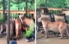 Il se réveille pour aller courir mais trouve une famille de pumas dans le jardin
