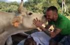Deze jongen hielp een koe in moeilijkheden bij de bevalling: ze