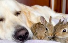 Uma Golden Retriever com um coração de ouro cuida dos filhotes de coelho: eles pensam que ela é sua