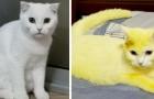 Un chaton blanc devient tout jaune après que sa maîtresse lui ait soigné une infection avec un