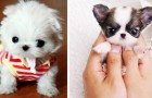 12 puppies small enough to fit in a teacup: they are unbelievably sweet