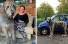 I proprietari dei levrieri irlandesi hanno scattato delle foto dalle quali emerge quanto siano grandi