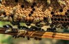 Le venin des abeilles serait capable de tuer même la forme la plus agressive de cancer du sein : la nouvelle étude
