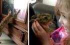 Una lepre fa visita ogni giorno alla famiglia umana che la ha salvata e nutrita per otto settimane