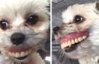 Un uomo perde la dentiera e scopre che l'ha rubata la sua cagnolina, sfoggiando un