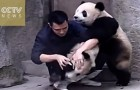 A vet tries to give these 2 cute pandas a medicine, but they've got a different idea !