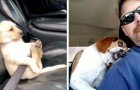 Hunde im Auto: 20 urkomische Situationen, in denen die Besitzer ihre Hunde an Bord aufgenommen haben