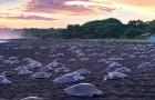 Costa Rica, centinaia di tartarughe marine arrivano in spiaggia per deporre le uova: lo spettacolo è mozzafiato
