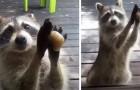 Un raton laveur frappe à la fenêtre avec une pierre chaque fois qu'il trouve la gamelle vide du chat : la vidéo est trop mignonne